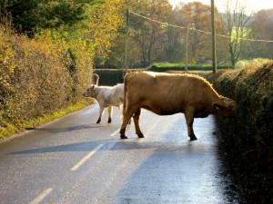 cow ambush google cars crime ideas criminal acts software self driving cars meme